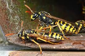 Op zoek naar wespenbestrijding in Beverwijk